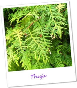 thuja l therisches l